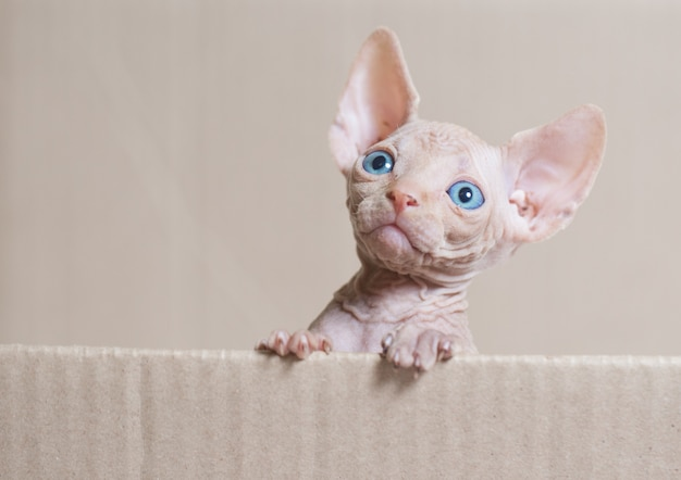 Bezwłosy sfinks kot.