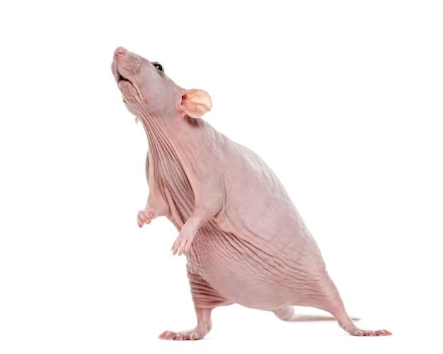 Bezwłosy szczur