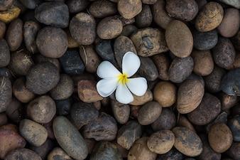 Biały żółty kwiatu plumeria, frangipani na ciemnej otoczak skale dla zdroju tle lub