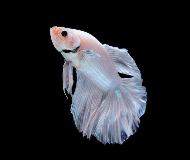Biała betta ryba odizolowywająca na białym tle