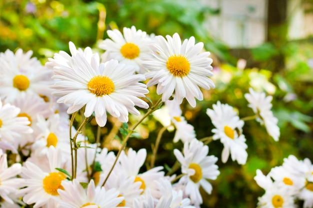 Biała chamomile chryzantema kwitnie zbliżenie