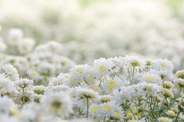 Biała chryzantema kwitnie, chryzantema w ogródzie. rozmyty kwiat dla tła, kolorowe rośliny