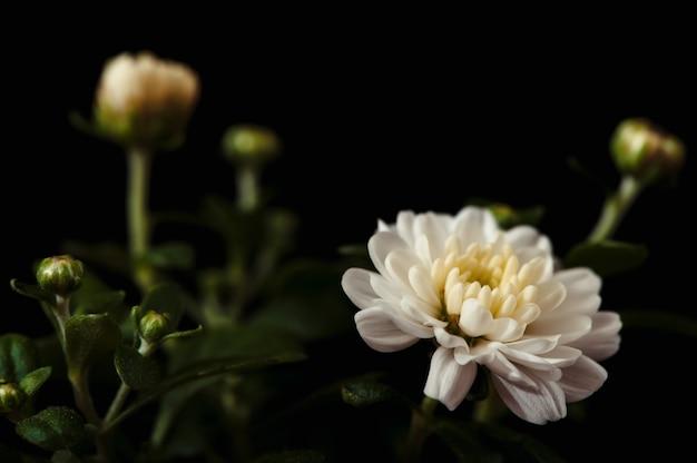 Biała chryzantema kwitnie zakończenie na czerni. fotografia przedmiotowa. konceptualistyczny.