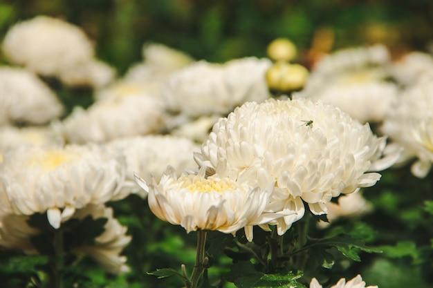 Biała chryzantema, mały owad na białej chryzantemie