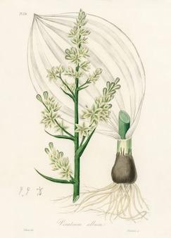 Biała ciemiernik (ilustracja z albumu veratrum) z medical botany (1836)