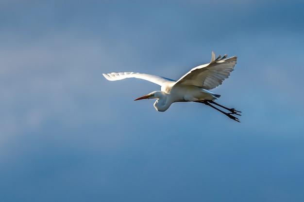 Biała czapla latająca o świcie w parku przyrody bagna ampurdan.