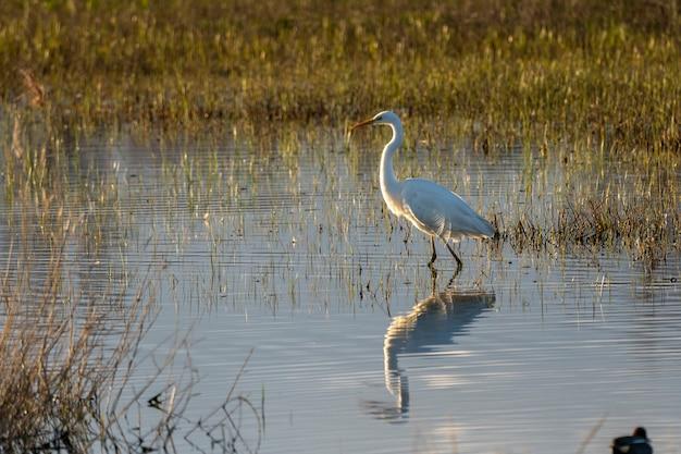 Biała czapla o świcie w parku naturalnym bagien ampurdan.