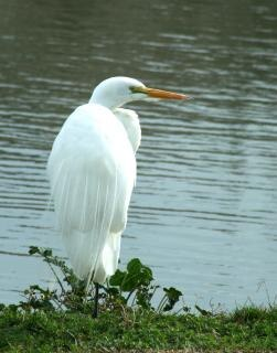 Biała czapla, skrzydła
