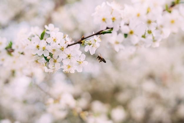 Biała delikatna gałąź kwitnącej wiśni jabłoni wraz z latającą w pobliżu pszczołą.
