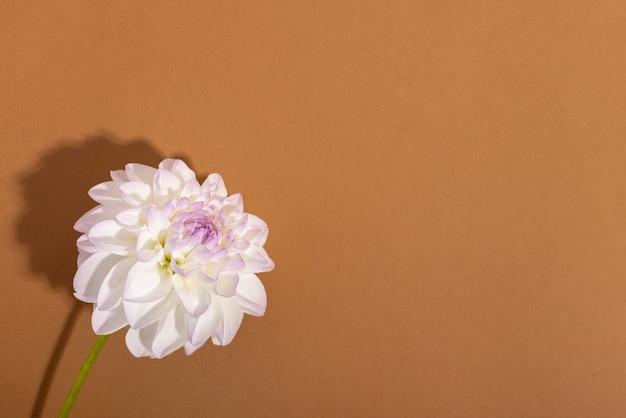 Biała delikatność dalia z bliska strzał miękkie tło kwiatowy z miejsca na kopię