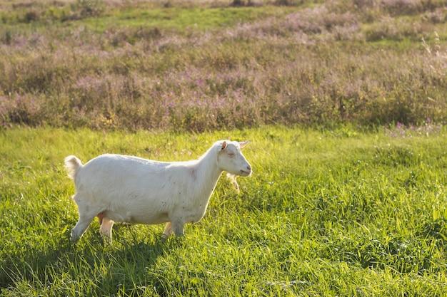 Biała domowa kózka na polu przy gospodarstwem rolnym