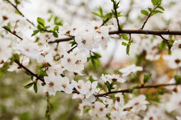 Biała dzika wiśnia kwitnie kwitnienie na gałąź