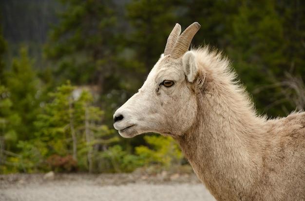 Biała, futrzana koza o brązowych oczach i krótkich rogach