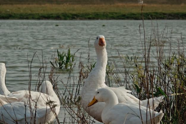Biała gęś w pobliżu jeziora. gęś kaczka w naturze do ostatniej godziny. stado białych gęsi cieszących się wspólnym czasem z kumplem