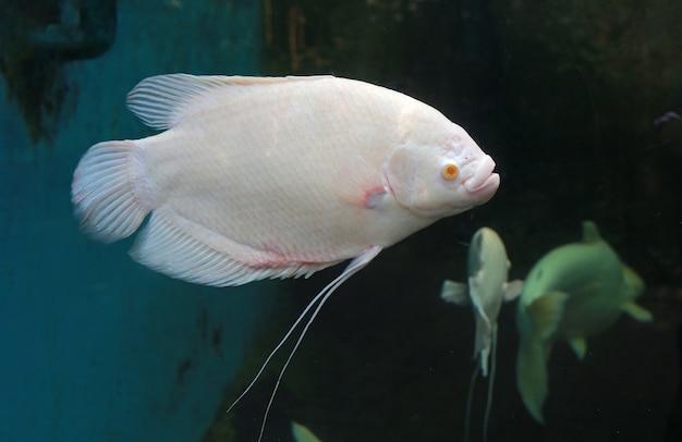 Biała gigantyczna gurami ryba pływa w akwarium zbiorniku (osphronemus goramy).