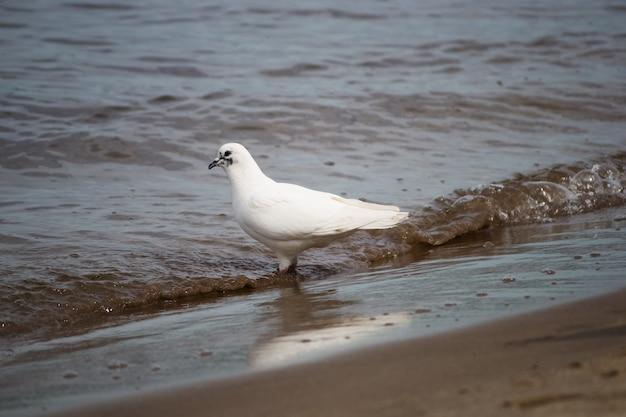 Biała gołębica w wodzie nad rzeką.