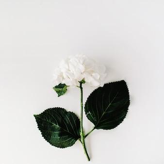 Biała hortensja na białym tle
