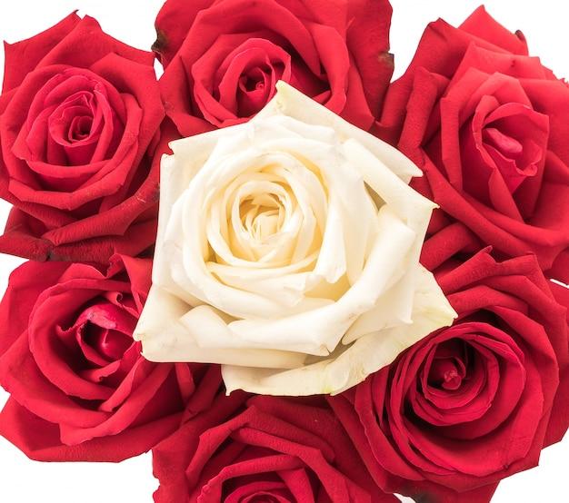 Biała i czerwona róża na białym tle