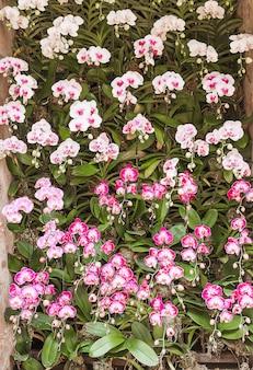 Biała i różowa orchidea na ścianie
