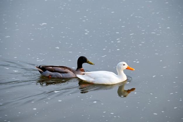 Biała kaczka pekin i kaczka krzyżówka parująca kaczki w rzece