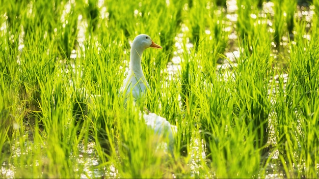 Biała kaczka przy wodnym ryżu polem z bokeh
