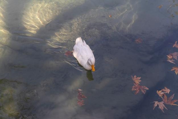 Biała kaczka w jeziorze