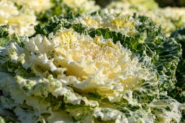 Biała kapusta ornamentacyjna w północy uprawia ogródek, thailand
