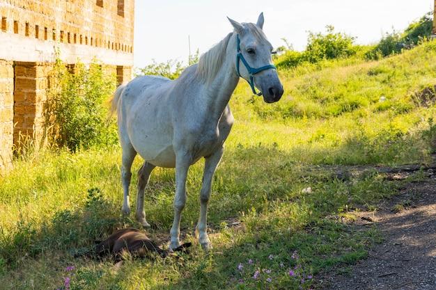 Biała klacz urodziła źrebię na pastwisku.
