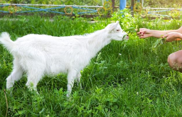Biała koza jedząca wierzbę. kobieta karmi zwierzęta domowe w naturze.