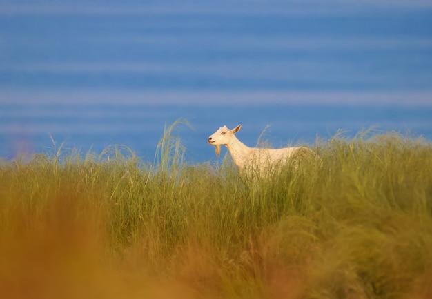 Biała koza jest sfotografowana w gęstej trawie na tle błękitnej wody ujścia rzeki