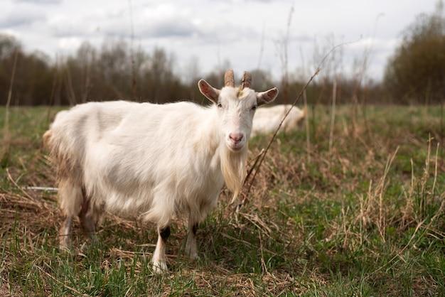 Biała koza na polu na padoku