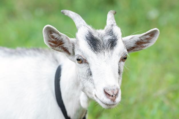 Biała koza na polu z zieloną trawą