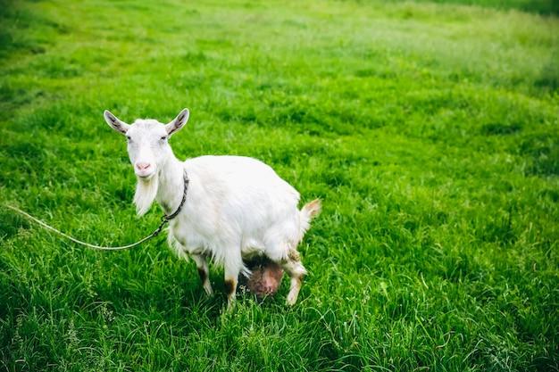 Biała koza na trawie. zwierzęta domowe w przyrodzie.