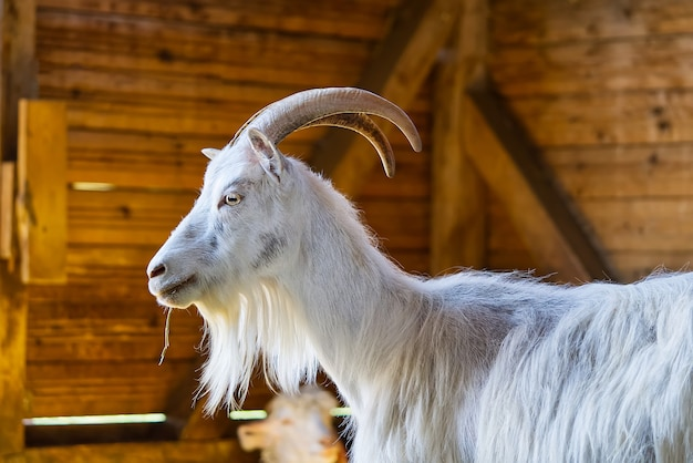 Biała koza w stodole kozy domowe w gospodarstwie urocza koza z wełny angory