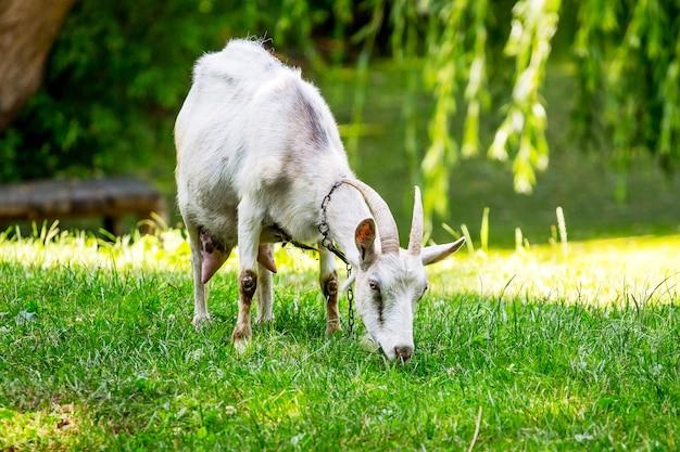 Biała koza z rogami pasie się w słoneczną pogodę na łące