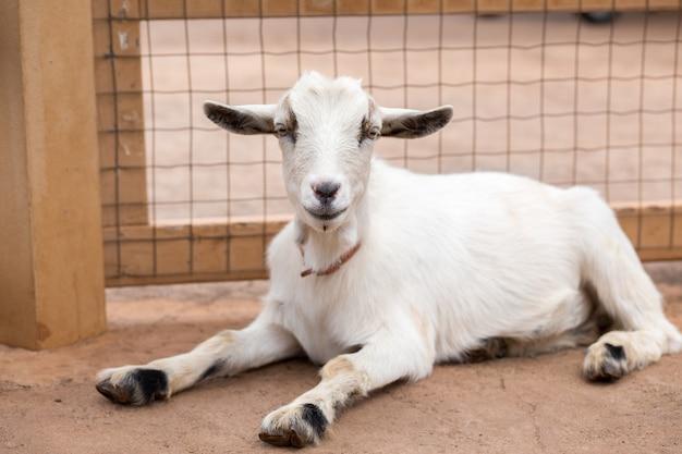 Biała koza