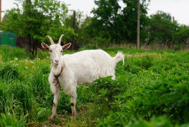 Biała kózka je zielonej trawy w ogródzie. bydło na zielonych pastwiskach. zwierzę na smyczy jest ograniczone. wypas kóz mlecznych na łące. rolnictwo