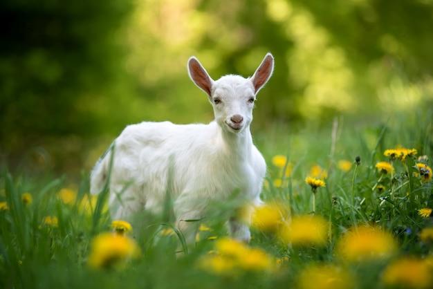 Biała kozy dziecko stojąc na zielonej trawie z żółtymi kwiatami