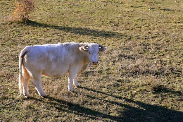 Biała krowa na łące patrząc do kamery