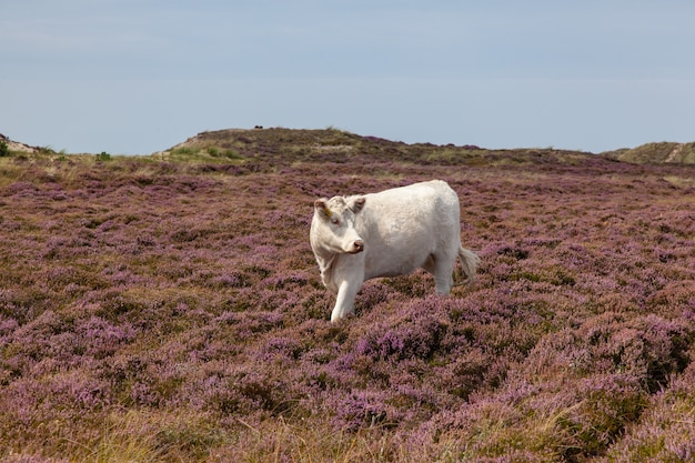 Biała krowa na wrzosowisku z błękitnym niebem