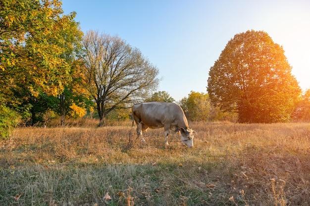 Biała krowa pasąca się na łące, na tle jesień las.
