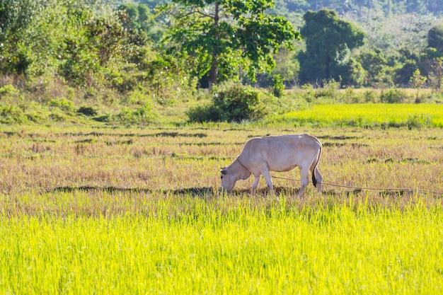 Biała krowa pasąca się na zielonej łące. rolnictwo rolnicze pastwiska wiejskie