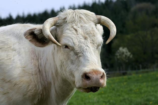 Biała krowa w polu