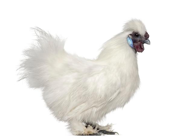 Biała kura silkie na białym tle