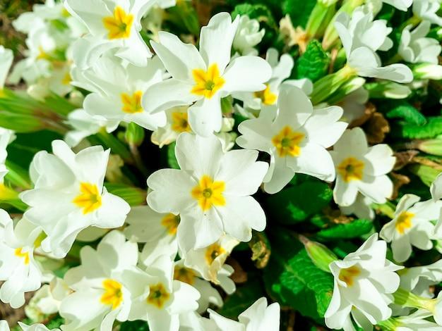 Biała kwiatowa powierzchnia od primula