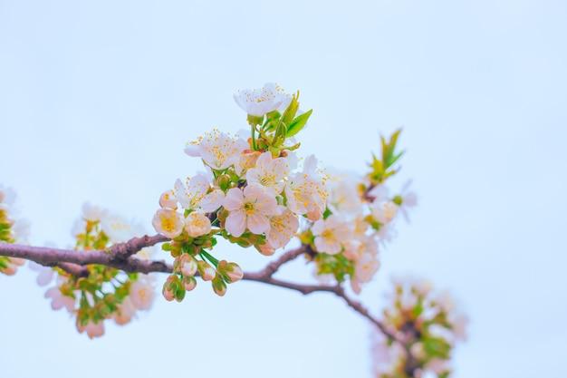 Biała kwitnąca gałąź drzewa owocowego sakura na tle nieba