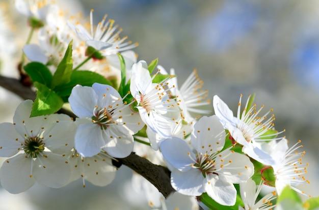 Biała kwitnąca gałązka drzewa