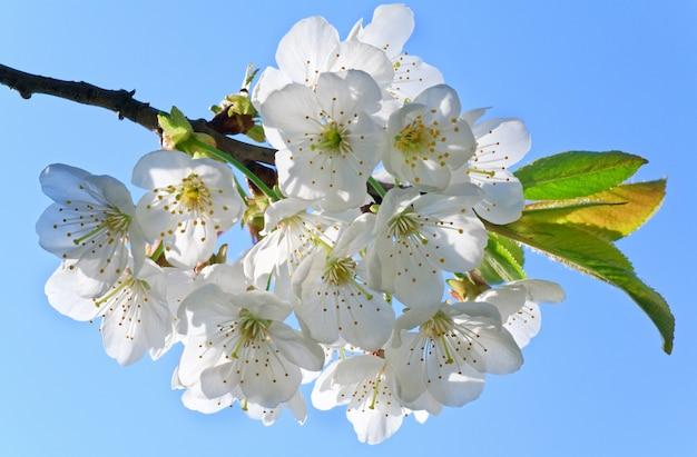 Biała kwitnąca gałązka wiśni (makro)