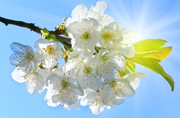 Biała kwitnąca gałązka wiśniowego drzewa na niebieskim niebie ze słonecznym tłem