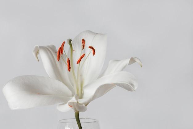 Biała lilia na białym tle na czarnym tle